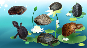 Mud & Musk Turtles